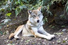 Grey Wolf, Canis L Lupus, war in Europa fast ausgestorben lizenzfreie stockfotos