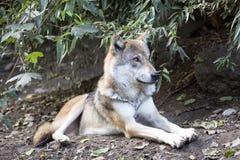 Grey Wolf, Canis L Lupus, war in Europa fast ausgestorben lizenzfreie stockbilder