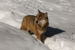 Grey Wolf (Canis lupus) Stock Image
