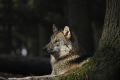 Grey Wolf ( Canis lupus ). The gray or grey wolf often known as the wolf only Royalty Free Stock Images
