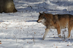 Grey Wolf ( Canis lupus ) Royalty Free Stock Photography