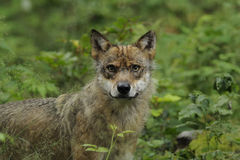 Grey Wolf ( Canis lupus ) Stock Photos