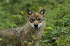 Grey Wolf ( Canis lupus ) Stock Photos