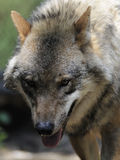 Grey Wolf ( Canis lupus ) royalty free stock image