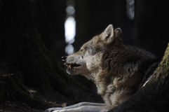 Grey Wolf ( Canis lupus ) Royalty Free Stock Photos