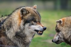 Grey wolf (Canis lupus). Ready for attack in a deer-park (Germany Royalty Free Stock Photography