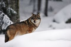 Grey wolf (Canis lupus). In a deer-park in winter (Germany Royalty Free Stock Photos
