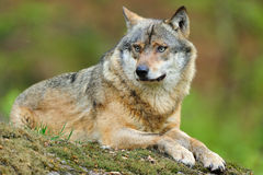 Grey Wolf (Canis lupus). In a deer-park in Germany Stock Photo