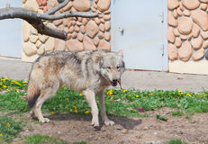 Grey wolf Royalty Free Stock Photo