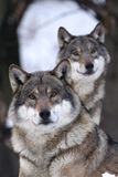 Grey wolf, Canis lupus. Pair of looking wolves foreground. The wolf is not as bad as they say, but you better not take too much confidence Royalty Free Stock Photo