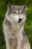 Grey Wolf Canis lupus Against Green Stock Photo
