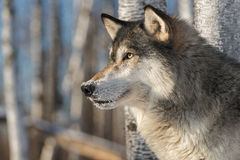 Grey Wolf Canis Lupus Alert Profile Left Royalty Free Stock Image