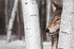 Grey Wolf (Canis lupus) Between Birch Trees Stock Photos