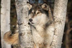 Grey Wolf Canis-Lupus Blick-heraus Endstück-Wedeln Lizenzfreie Stockfotografie