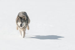 Grey Wolf (Canis lupus) Bounds Through Snow Towards Viewer Royalty Free Stock Photography