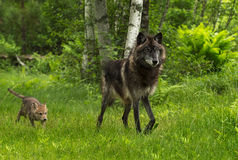 Grey Wolf (Canis lupus) Chased by Pup Stock Images