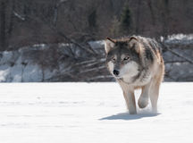 Grey Wolf (Canis Lupus) Close Up Stalk Royalty Free Stock Photos