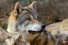 Grey Wolf - Canis Lupus. Close up of grey wolf in the woods Stock Photos