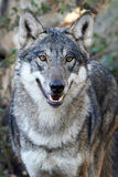 Grey Wolf Canis lupus. Closeup portrait of the grey wolf seen from the front Stock Photo