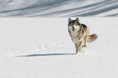 Grey Wolf (Canis lupus) Comes Running Stock Photography