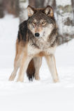 Grey Wolf (Canis lupus) Copy Space Bottom Royalty Free Stock Images