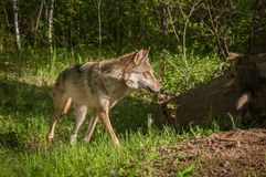 Grey Wolf Canis lupus Corners Royalty Free Stock Photography