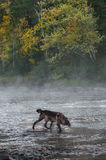 Grey Wolf (Canis lupus) Crosses Misty River Stock Photos