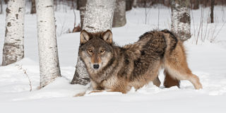Grey Wolf (Canis lupus) Crouches Near Treeline Stock Photo