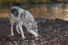 Grey Wolf (Canis lupus) Deep Sniff Royalty Free Stock Photos