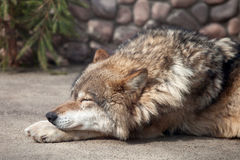 Grey Wolf (Canis lupus) dreaming Stock Images