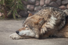 Grey Wolf (Canis lupus) dreaming Stock Image