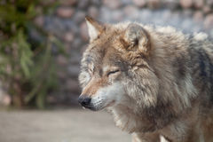 Grey Wolf (Canis lupus) dreaming Stock Photo