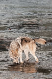 Grey Wolf (Canis lupus) Drinks from River Royalty Free Stock Photo