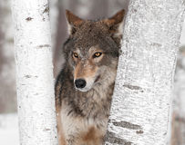 Grey Wolf (Canis lupus) Ears Back Between Trees Stock Photography
