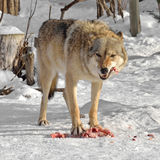 Grey Wolf Canis lupus eats meat Royalty Free Stock Photography