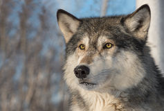 Grey Wolf Canis lupus Face Ears Forward Stock Images