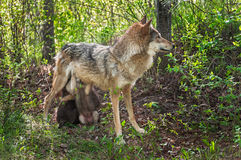 Grey Wolf (Canis lupus) Feeds Her Pups in Shady Area Royalty Free Stock Photo