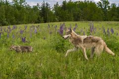 Grey Wolf Canis lupus Follows Pup. Captive animals Royalty Free Stock Photography