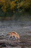 Grey Wolf Canis lupus Gets Drink in River Royalty Free Stock Photography