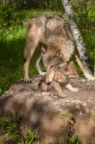 Grey Wolf Canis lupus Grabs at Her Pup. Captive animals Stock Image