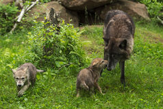 Grey Wolf Canis lupus is Greeted by Pup Royalty Free Stock Images