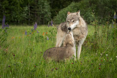Grey Wolf Canis lupus Greeted by Pup. Captive animals Royalty Free Stock Photography