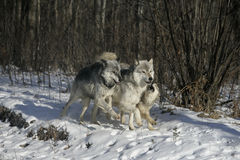 Grey wolf, Canis lupus Stock Image