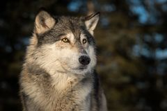 Grey Wolf Canis lupus Head Against Dark Background. Captive animal royalty free stock image