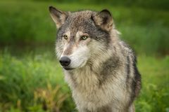 Grey Wolf Canis lupus Head. Captive animal stock photography