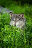 Grey Wolf Canis lupus Head in Grass. Captive animal stock image