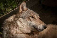 Grey Wolf Canis lupus Head. Captive animal royalty free stock photo