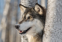 Grey Wolf Canis lupus Head Left. Captive animal stock photo