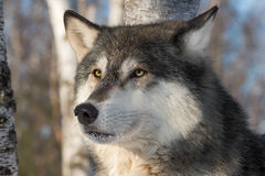 Grey Wolf Canis lupus Head One Ear Back Royalty Free Stock Images