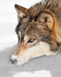 Grey Wolf (Canis lupus) Head with Snow Royalty Free Stock Image
